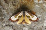 Belle nymphe des bois - Beautiful Wood-Nymph - Eudryas grata (9301)