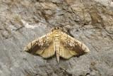 Basswood Leafroller - Pantographa limata (5241)
