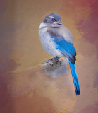 Young Blue Jay.jpg