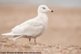 Glaucous Gull  (Grote Burgemeester)