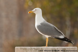 Yellow-Legged Gull  (Geelpootmeeuw)