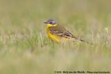 Western Yellow Wagtail  (Gele Kwikstaart)