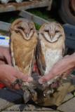 Barn Owl Ringing  (Kerkuilen ringen)