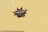 Spiny OrbweaverGasteracantha cancriformis