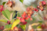 Ruby-Throated HummingbirdArchilochus colubris