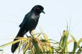 Boat-Tailed GrackleQuiscalus major westoni