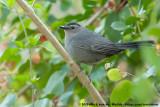 Grey CatbirdDumetella carolinensis