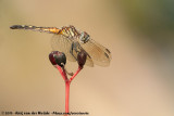 Blue DasherPachydiplax longipennis