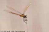 Four-Spotted PennantBrachymesia gravida