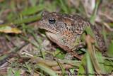 Southern ToadAnaxyrus terrestris