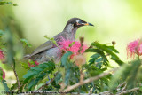 Bridled HoneyeaterBolemoreus frenatus