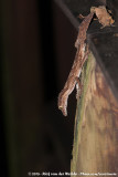 Northern Leaf-Tailed GeckoSaltuarius cornutus