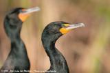 Double-Crested CormorantPhalacrocorax auritus floridanus