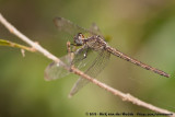 Band-Winged DragonletErythrodiplax umbrata