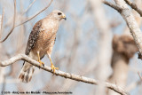 Red-Shouldered HawkButeo lineatus extimus