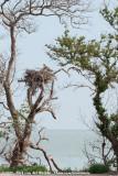 Western OspreyPandion haliaetus carolinensis