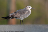 Laughing Gull  (Lachmeeuw)