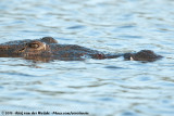 American CrocodileCrocodylus acutus