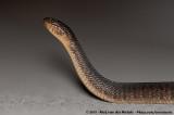 Florida Green Water SnakeNerodia floridana