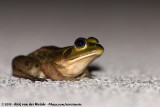 Pig FrogLithobates grylio
