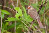Northern CardinalCardinalis cardinalis floridanus