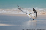 Greater Crested Tern  (Grote Kuifstern)