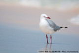Silver Gull  (Witkopmeeuw)