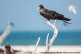 Great Frigatebird  (Grote Fregatvogel)