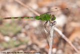 Great PondhawkErythemis vesiculosa