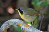 Common YellowthroatGeothlypis trichas ignota