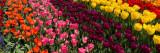 Tulip Overload.jpg
