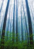 Poplars-in-Spring-Fog - 3