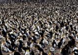 Royal-Penguin-Rookery