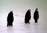 Emporer-Penguins