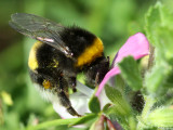 Bumble bee on a wild flower in July