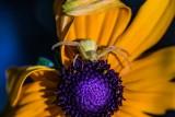Diana PeglarCrab Spider Surpise