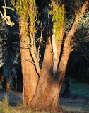 The sun was coming over the hill, I turned around and it was like a spotlight on this Red Box Eucalypt.