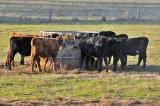 Calves enjoying some silage.