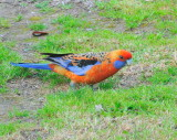 Adelaide Rosella according to the RD Bird Book, if it is it's a long way from home I've not seen one before.
