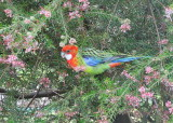 Eastern Rosella - feeding on Grevillea seeds - through the window.