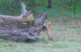 Fox on the prowl in neighbour's paddock.