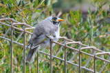 Noisy Miner youngster, they're permanent and noisy residents in our yard.