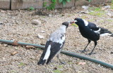 Male Magpie feeding one of three youngsters.  All the family help with feeding the young