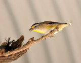 Striated Pardalote feeding its young, looks like tiny spiders/insects in its beak.