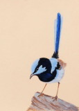 Male Superb Blue Wren - Pastel pencils - Clairefontaine Pastelmat.