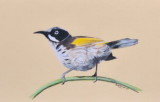 New Holland Honeyeater - Pastel pencils - Clairefontaine Pastelmat.