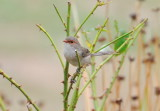 Female Blue Wren