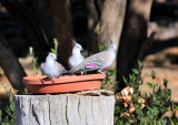 Family of Crested Pigeons enjoying a drink on a very warm day.