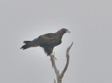 Wedge-tail Eagle - possibly a juvenile.