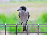 Grey Butcher Bird - waiting for a free handout.